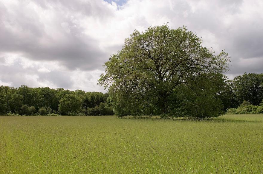 Nederland,  Driebergen, 28 mei 2006..Solitaire boom, eikenboom, in veld met graan...Foto (c) Michiel Wijnbergh