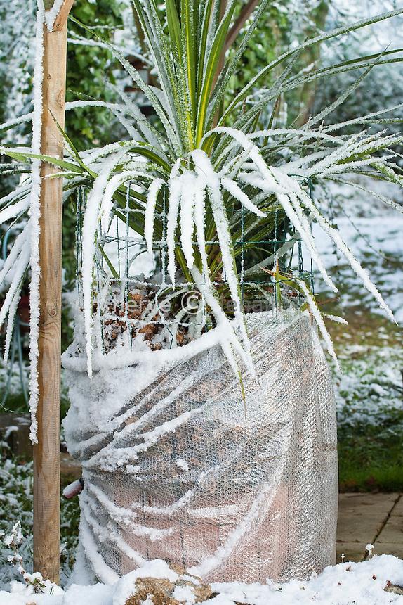 cordyline australe = dracaena australe (Cordyline australis) en pot avec voile de protection contre le gel //  Cordyline australis or Cabbage Tree in a pot with a protection against freezing.