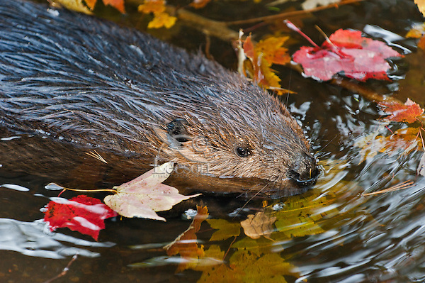 Beaver (Castor canadensis) chewing maple twigs, autumn, Nova Scotia, Canada.