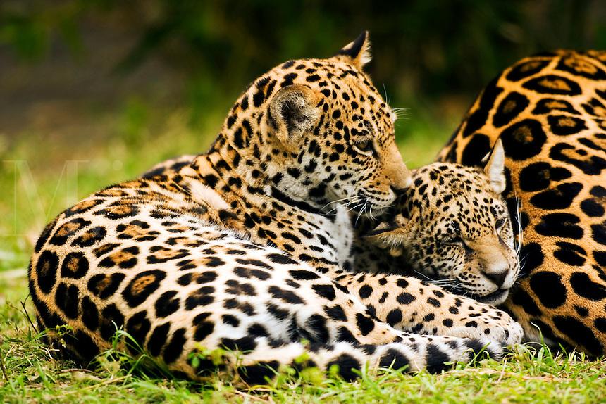 Jaguar (Panthera onca) cubs resting at mother?s flank [captive]