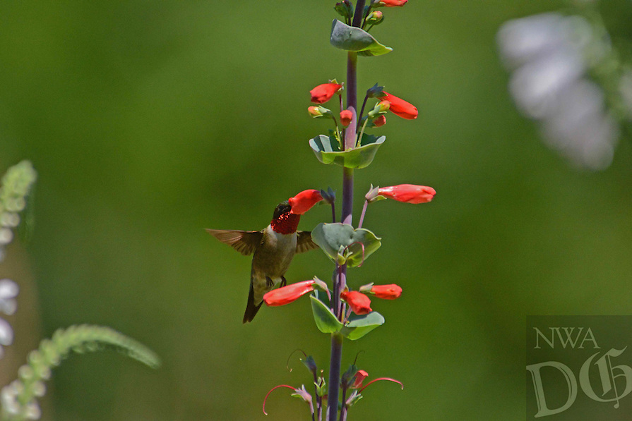 Courtesy photo/TERRY STANFILL<br /> SNACK TIME<br /> A hummingbird sips from wildflowers at the Gentry Prairie. Terry Stanfill of the Decatur area took the picture June 8.