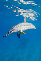 spinner dolphin, Stenella longirostris, playing, carrying a leaf on pectoral fin, Hawaii ( Central Pacific Ocean )