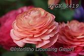 Gisela, FLOWERS, BLUMEN, FLORES, photos+++++,DTGK2419,#f#, EVERYDAY