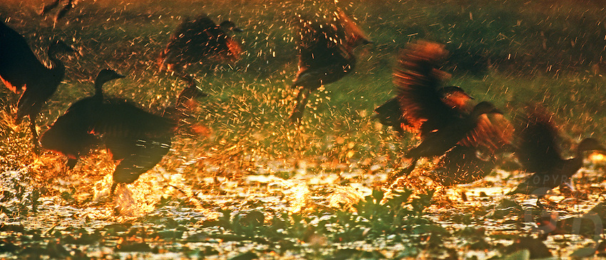 Whistling Ducks taken off at swamp near Kakadu National Park, Northern Territory, Australia