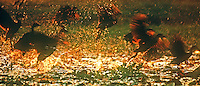Whistling Ducks taken off at swamp near Kakadu National Park, Northern Territory, Australia