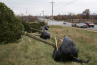 """NWA Democrat-Gazette/CHARLIE KAIJO A row of Pyramidal European Hornbeam trees are shown on Monday, November 13, 2017 on 14th Street in Centerton. The city of Centerton contracted the crew Fresh and Green to plant 305 trees throughout the city all the way up to Greenhouse Road. The Wal-Mart Family Foundation awarded the city a grant for $181,000 for the project. """"I think it's going to be very nice for the city and give it a new look,"""" said Centerton Mayor Bill Edwards. The project is about a quarter of the way finished."""
