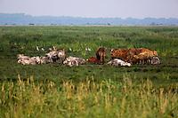 Europe/France/Pays de la Loire/44/Loire-Atlantique/Parc Naturel Régional de Brière/Saint-Malo-de-Guersac: Réserve ornithologique Pierre Constant, domaine dédié aux oiseaux des marais.  L'élevage des bovins est une tradition ancienne en Brière. L'activité a su s'adapter aux conditions particulières du pâturage en marais. Au printemps, les animaux sont menés en barge sur les prairies émergées. Les éleveurs en agriculture durable ont déposé une marque: viande du Parc naturel régional de Brière ont déposé une marque: Viande du Parc naturel régional de Brière