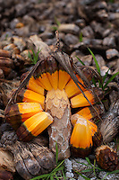 Pandanus fruit is a staple of the traditional Marshall Islands diet, providing essential vitamins.