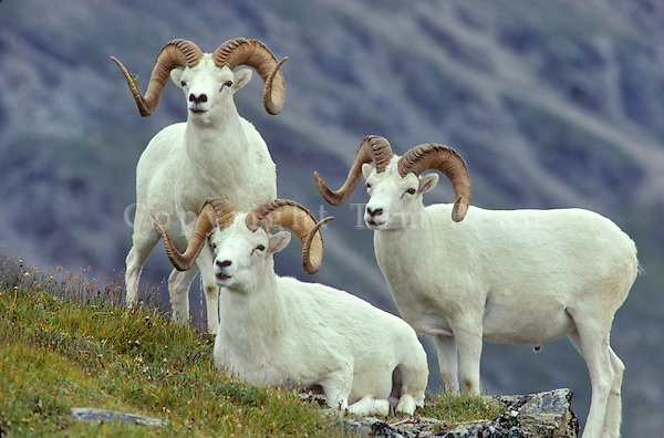 Dall Sheep Rams, Ovis dalli, on Mount Wright in the Alaska Range, Denail National Park, Alaska, AGPix_0031.