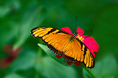 Julia Longwing wth dark wing markings is sipping from a brigh red flower with wings fully spread, head, probiscus and antennae stand out agains flower and multi-shaded green background.