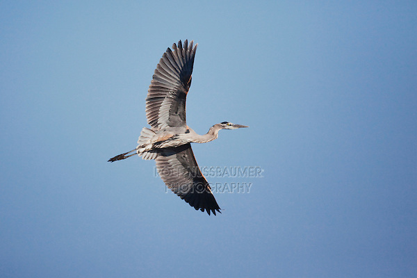 Great Blue Heron (Ardea herodias), adult in flight, Sinton, Corpus Christi, Coastal Bend, Texas, USA