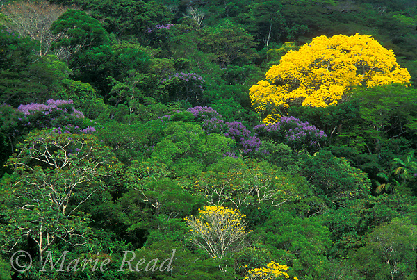 Neotropical rainforest canopy, Soberania National Park, Panama, with Guayacan (yellow) and Jacaranda (purple) trees in flower.<br /> Slide # SP2-74