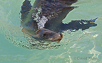 0406-1002  California Sea Lion Swimming, Zalophus californianus  © David Kuhn/Dwight Kuhn Photography.