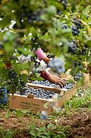 Farm worker harvesting fresh ripe blueberries 'Elliot' for field pack, VIridian Farms, Oregon