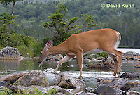 0623-1022  Northern (Woodland) White-tailed Deer Drinking Water, Odocoileus virginianus borealis  © David Kuhn/Dwight Kuhn Photography