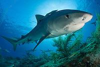 Tiger Shark, Galeocerdo cuvier, Bahamas, Caribbean Sea.