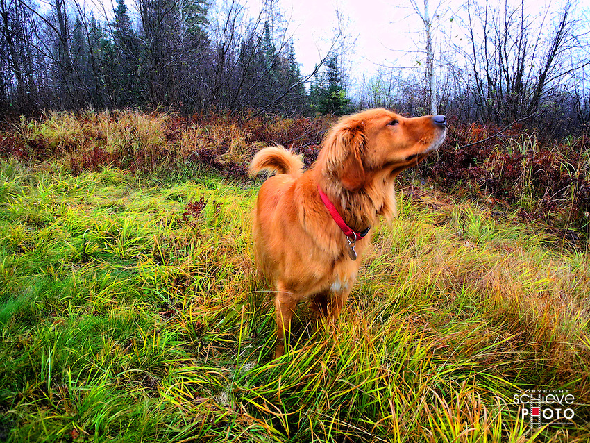 Oscar catches a scent in the woods of Northern Wisconsin.
