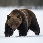 Winter Brown Bears