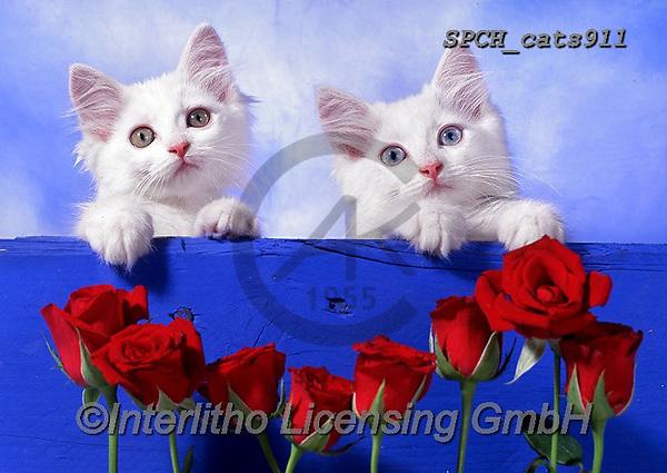 Xavier, ANIMALS, REALISTISCHE TIERE, ANIMALES REALISTICOS, cats, photos+++++,SPCHCATS911,#a#, EVERYDAY