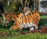 BNPS.co.uk (01202 558833)<br /> Pic: IanTurner/BNPS<br /> <br /> <br /> The wonderful thing about tiggers...cubs Rusty and Yuki play in the autumn leaves and with long suffering mother Yana.<br /> <br /> The endangered Amur tiger cubs - the world's largest big cats – have been seen by visitors for the first time at the Longleat Safari Park.<br /><br />And the precocious pair were soon frollicking in the autumn sunshine whilst playing in the fallen leaves, and pouncing on their long suffering mother Yana.<br /> <br /> The male called Rusty and a female called Yuki, are part of a European wide breeding programme for the endangered sub-species.<br /><br />Native to the far east of Russia, the Amur tiger is the largest of the big cats and can weigh up to 300 kg and measure more than three metres in length. <br /><br />In the 1930s the tigers had nearly died out due to hunting and logging. At one stage it is thought the population fell as low as just 20–30 animals. <br /> <br /> Although they are still under severe threat their status was officially changed from Critically Endangered to Endangered in 2007.
