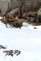 Two red deer stags in winter standing under a big rock