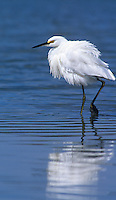 525153002 a wild snowy egret egretta thula in breeding plumage walks in san elijo lagoon along the pacific coast in san diego county california