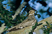 Common Nighthawk, Chordeiles minor, adult on branch, Welder Wildlife Refuge, Sinton, Texas, USA, May 2005