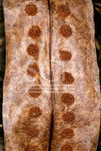 Tataquara, Brazil. Close-up of a brown seed pod with hairy spots. Para State.