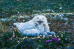 A Snowy Owl sits defiantly on her nest mound as two owlets nestle against her breast.
