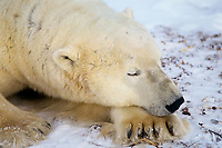 Polar bear (Ursus maritimus), male resting, Hudson Bay, Canada. November.