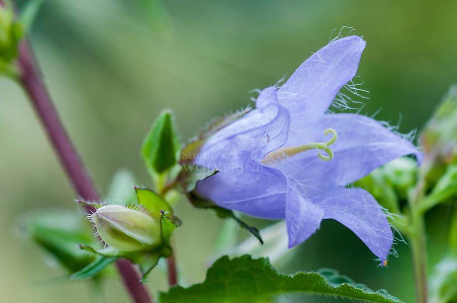 Ruig klokje (Campanula trachelium)
