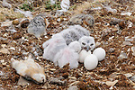 Snowy Owl (Bubo scandiacus) chicks and eggs in nest surrounded by Collared Lemming (Dicrostonyx groenlandicus) prey. Bathurst Island, Nunavut, Canada. June.