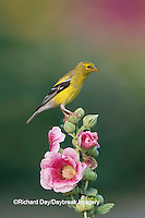 01640-11614 American Goldfinch (Carduelis tristis) female on Hollyhock (Alcea rosea) Marion Co.  IL