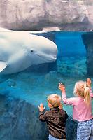 Beluga whale, Delphinapterus leucas, Canadian Arctic