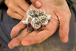 Snowy Plover (Charadrius nivosus) biologist, Karine Tokatlian, holding banded chick and newborn unbanded chick, Eden Landing Ecological Reserve, Union City, Bay Area, California