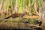 Mink (Mustela vison) runs along a fallen log in a freshwater marsh, New York, USA