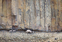 A bighorn ewe and two lambs pick their way along the base of columnar basalt cliffs in the Grand Canyon of the Yellowstone.