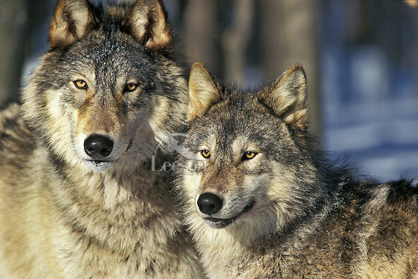 Gray wolf or timber wolves (Canis lupus).