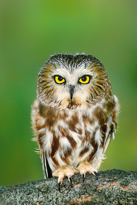 the northern saw-whet owl aegolius acadicus is a diminutive