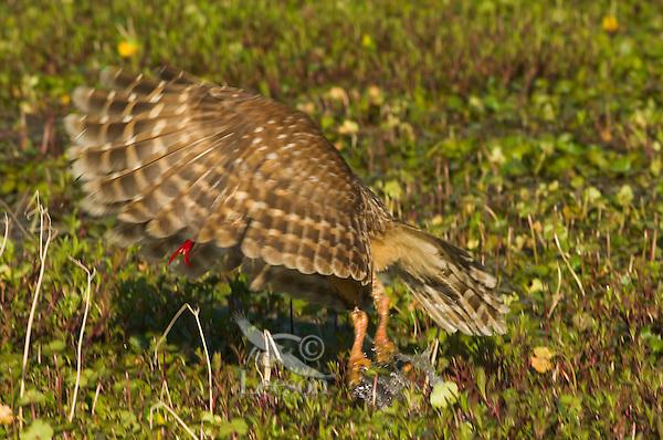 Barred Owl preying on crayfish (crawfish) in southern swamp, LA.