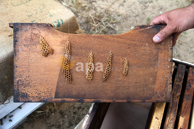 "A Palestinian bee keeper carries a honeycomb reads ""Allah"", the holy name of God, written by beeswax at his bee farm in Rafah in the southern Gaza strip, April 30, 2013. Photo by Hatem Omar"