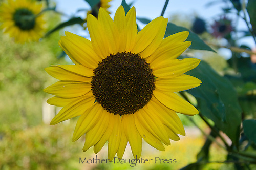 Sunflower in early morning garden, Maine, USA