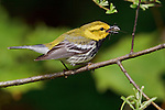 Black-throated Green Warbler (Dendroica virens) perched on a branch with insect prey in its bill, Ontario, Canada.