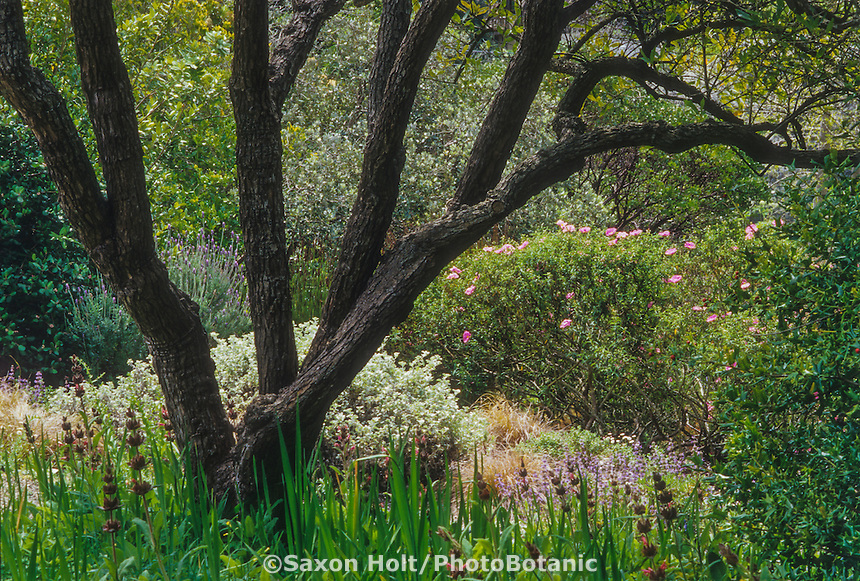 Dry garden with trees shrubs and perennials;  Sage and Rockrose under Fiddlewood tree