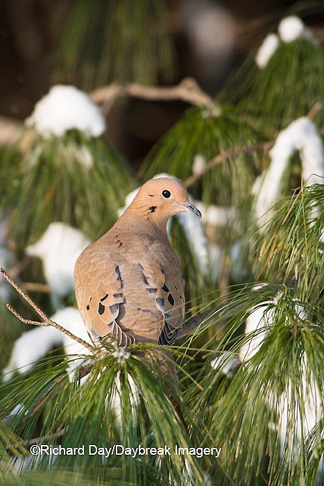 01081-01212 Mourning Dove (Zenaida macroura) in White Pine (Pinus strobus) tree in winter.  Marion Co. IL