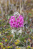 Wooly lousewart blossoms on the spring tundra in Denali National Park, Interior, Alaska.