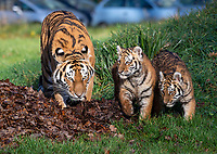 BNPS.co.uk (01202 558833)<br /> Pic: IanTurner/BNPS<br /> <br /> The wonderful thing about tiggers...cubs Rusty and Yuki play in the autumn leaves with mother Yana.<br /> <br /> The endangered Amur tiger cubs - the world's largest big cats – have been seen by visitors for the first time at the Longleat Safari Park.<br /><br />And the precocious pair were soon frollicking in the autumn sunshine whilst playing in the fallen leaves, and pouncing on their long suffering mother Yana.<br /> <br /> The male called Rusty and a female called Yuki, are part of a European wide breeding programme for the endangered sub-species.<br /><br />Native to the far east of Russia, the Amur tiger is the largest of the big cats and can weigh up to 300 kg and measure more than three metres in length. <br /><br />In the 1930s the tigers had nearly died out due to hunting and logging. At one stage it is thought the population fell as low as just 20–30 animals. <br /> <br /> Although they are still under severe threat their status was officially changed from Critically Endangered to Endangered in 2007.