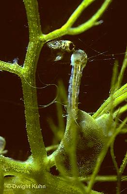 CA12-003b  Bladderwort - consuming mosquito larva prey - Utricularia spp.