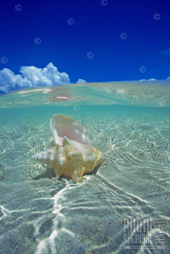 Conch shell in Hawaii's blue water