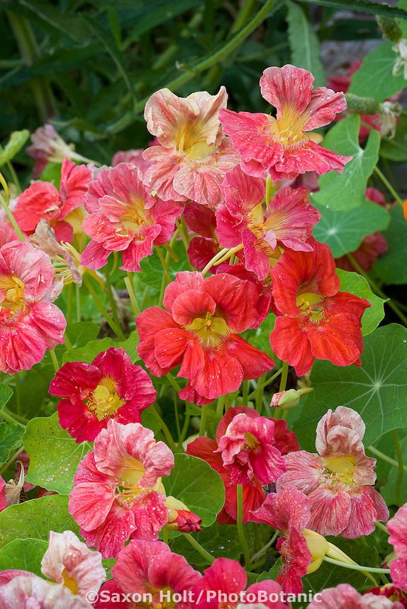 Tropaeolum majus red nasturtium annual flower
